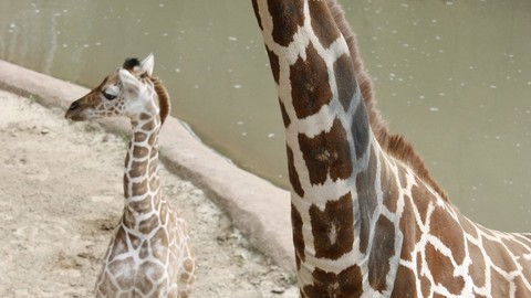 Dallas Zoo's Baby Giraffe to Make His Public Debut!
