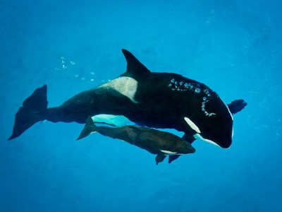 sea world last baby orca dies