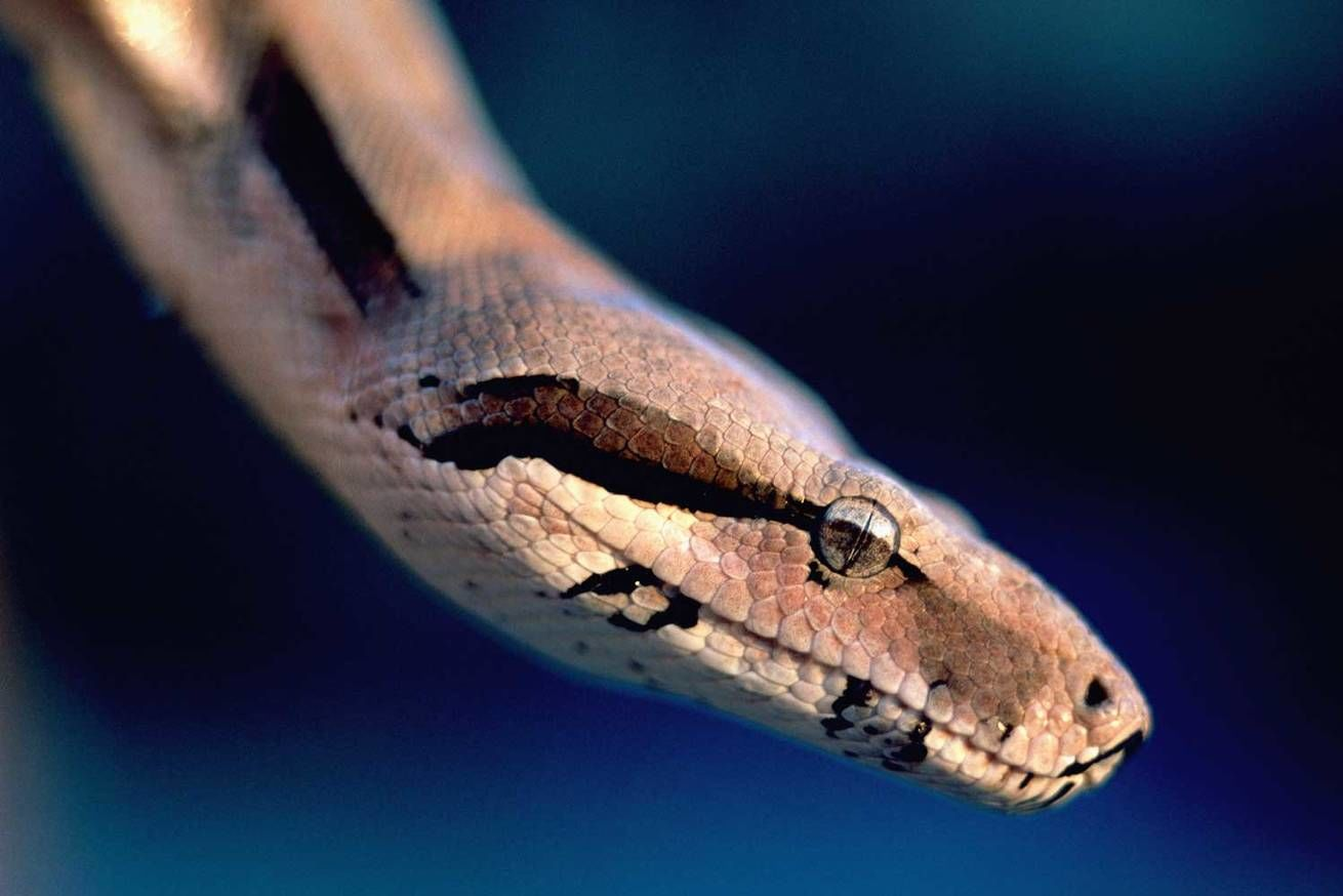 Housekeeping Found a Boa Constrictor in Bed at a North Carolina Hotel